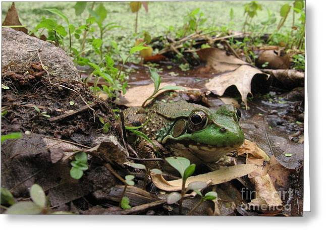 Frog In Swamp At Bowman's Hill Greeting Card by Anna Lisa Yoder