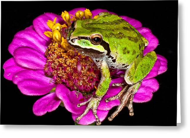 Toe Pad Greeting Cards - Frog  on flower Greeting Card by Jean Noren