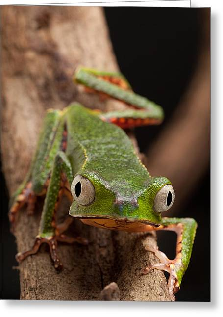 Tree Frog Greeting Cards - Frog With Big Eyes Greeting Card by Dirk Ercken