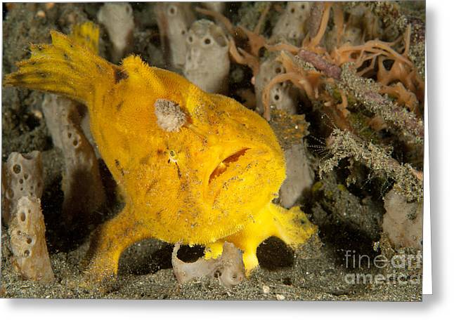 Osteichthyes Greeting Cards - Frogfish With Large Lure, Open Mouth Greeting Card by Steve Jones