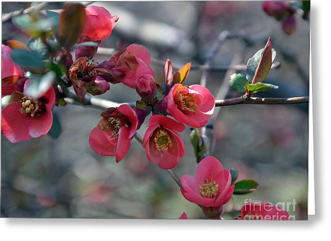 Natural Bridge Station Greeting Cards - From Quince I Came Greeting Card by Brenda Dorman