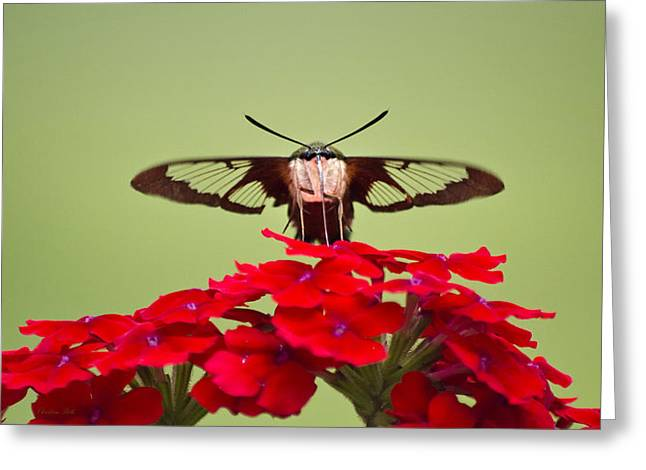 Hovering Greeting Cards - Front And Center Hummingbird Clearwing Moth Greeting Card by Christina Rollo