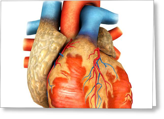 Front View Of Human Heart Greeting Card by Stocktrek Images