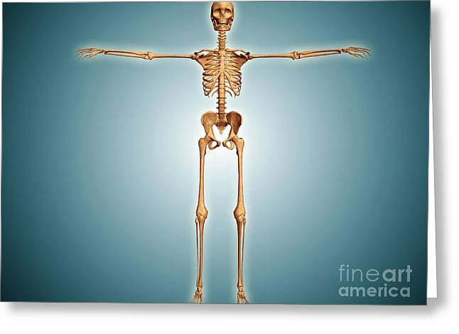 Costae Fluitantes Greeting Cards - Front View Of Human Skeletal System Greeting Card by Stocktrek Images