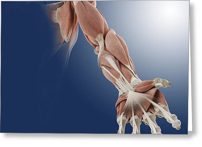 Flexor Digitorum Greeting Cards - Frontal arm muscles, artwork Greeting Card by Science Photo Library