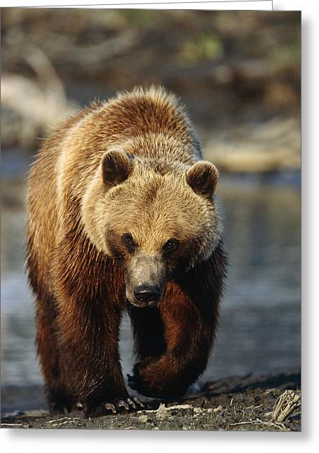 Hall Greeting Cards - Frontal View Of Brown Bear Sc Alaska Greeting Card by Calvin Hall