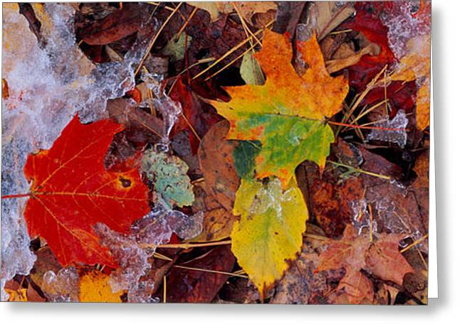 Fallen Leaf Greeting Cards - Frost On Leaves, Vermont, Usa Greeting Card by Panoramic Images
