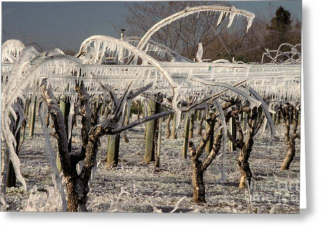 Kiwifruit Greeting Cards - Frost Protection Greeting Card by Ron Sanford