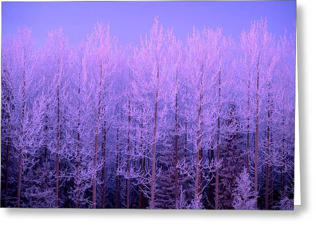 Snowy Evening Greeting Cards - Frost trees in sunset Greeting Card by IB Photo