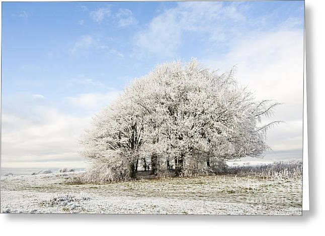 Wintry Greeting Cards - Frosted Copse Greeting Card by Anne Gilbert