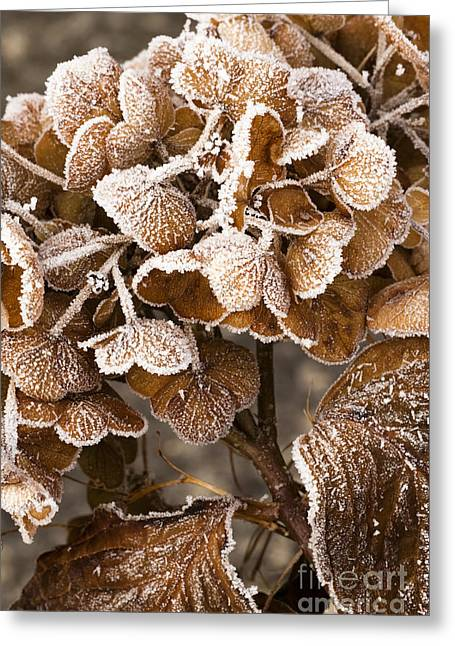 Wintry Greeting Cards - Frosted Hydrangea Greeting Card by Anne Gilbert
