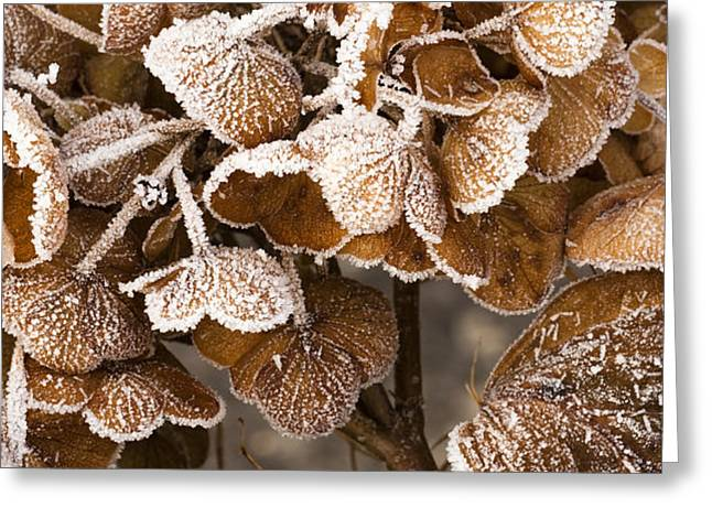 Frosted Hydrangea Greeting Card by Anne Gilbert