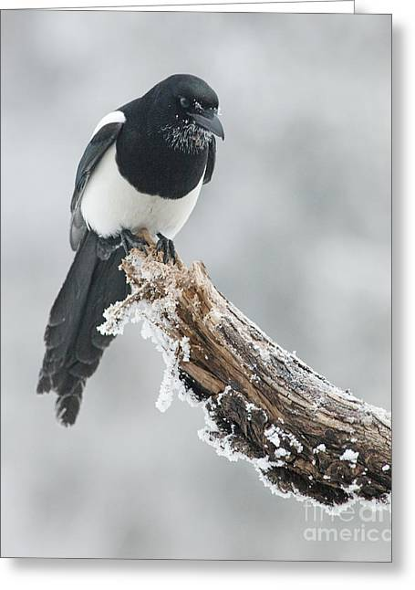Magpies Greeting Cards - Frosted Magpie Greeting Card by Tim Grams