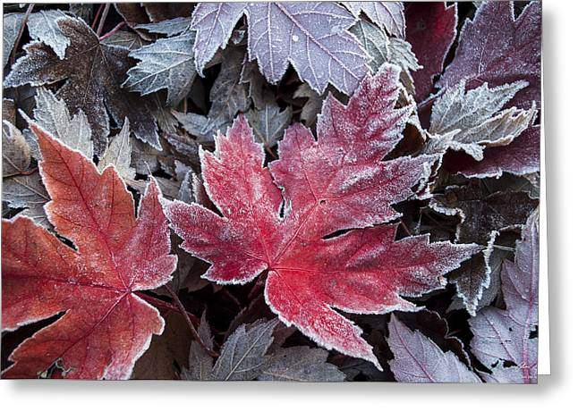 Photos Of Autumn Greeting Cards - Frosted Maple Leaves Greeting Card by Aaron Spong