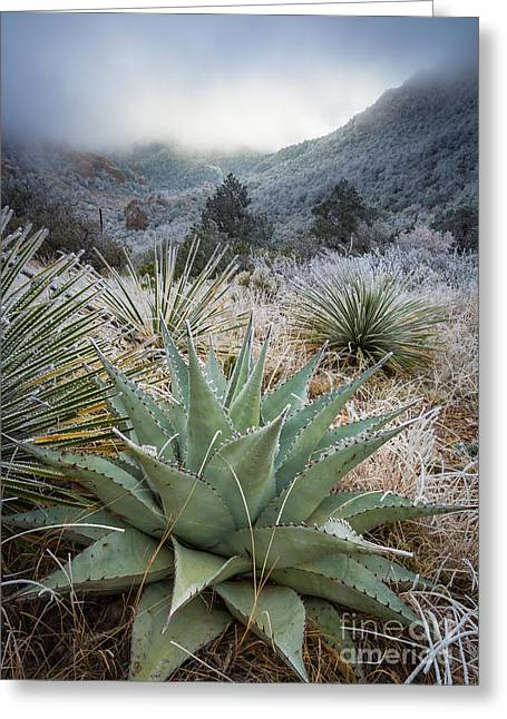 Winter Travel Greeting Cards - Frosty Agave Greeting Card by Inge Johnsson