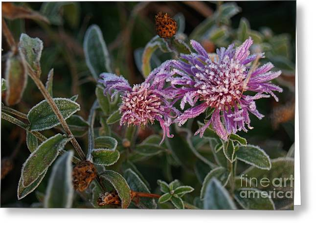 Aster Greeting Cards - Frosty Asters in Morning Greeting Card by Anna Lisa Yoder