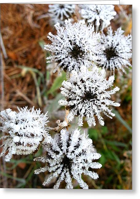Buttonweed Greeting Cards - Frosty Buttonweed Greeting Card by Brook Burling