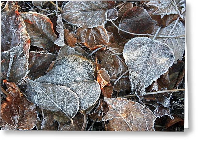 Ovates Greeting Cards - Frosty Leaves Catching Some Sunrays Greeting Card by Gerry Bates