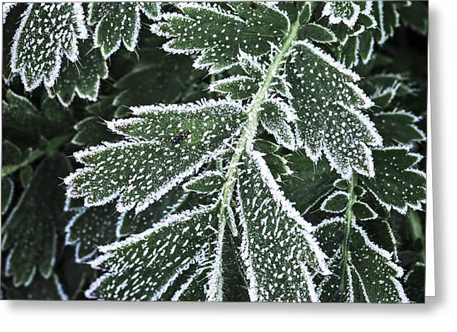 Frosty leaves macro Greeting Card by Elena Elisseeva