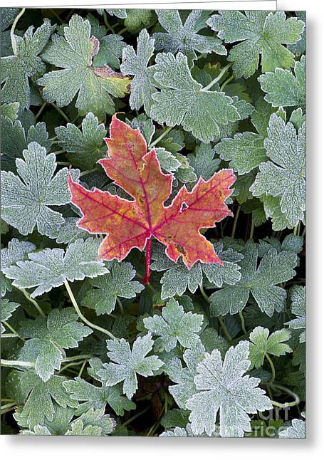 Red Geraniums Greeting Cards - Frosty Maple Leaf Greeting Card by Tim Gainey