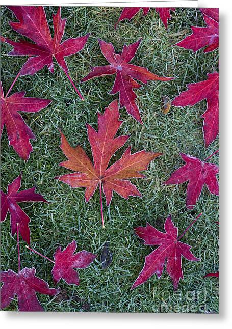 Garden Art Greeting Cards - Frosty Maple Leaves Greeting Card by Tim Gainey