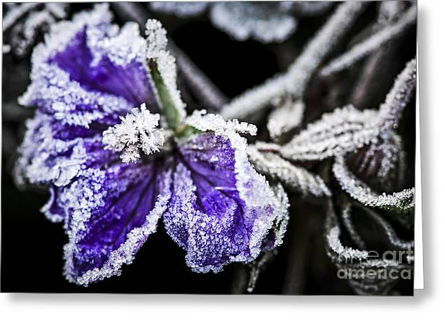 Freezing Greeting Cards - Frosty purple flower in late fall Greeting Card by Elena Elisseeva