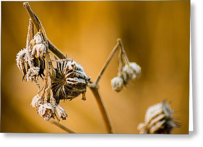 Wisconsin Wildflowers Greeting Cards - Frosty Treatment Greeting Card by Bill Pevlor