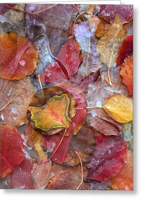 Photos Of Autumn Greeting Cards - Frozen Autumn Aspen Leaves Greeting Card by Tim Fitzharris