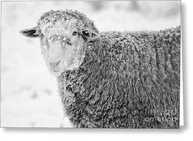 Sheep Photographs Greeting Cards - Frozen Dinner Greeting Card by Mike  Dawson