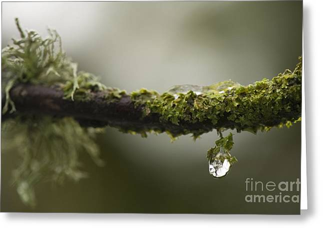 Lichen Covered Trees Greeting Cards - Frozen Droplet Greeting Card by Anne Gilbert