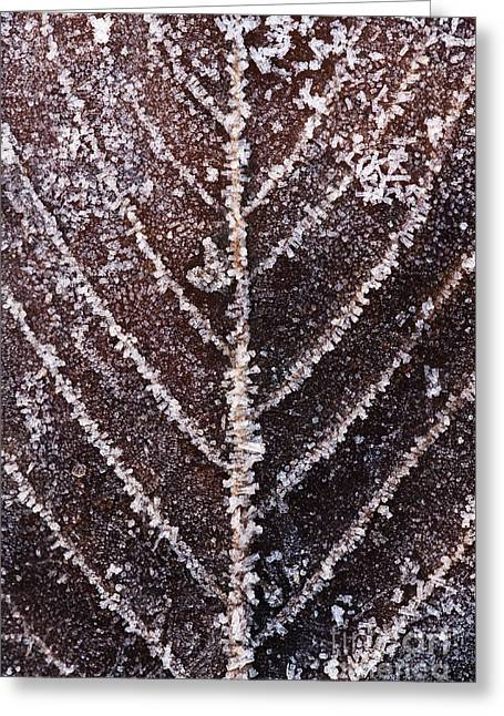 Wintry Photographs Greeting Cards - Frozen Leaf Greeting Card by Anne Gilbert