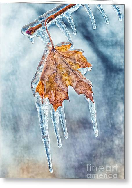 Winter Photos Greeting Cards - Frozen Maple II Greeting Card by Todd Bielby
