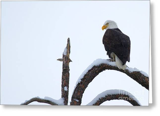 American Bald Eagle Greeting Cards - Frozen Perch Greeting Card by Mike  Dawson