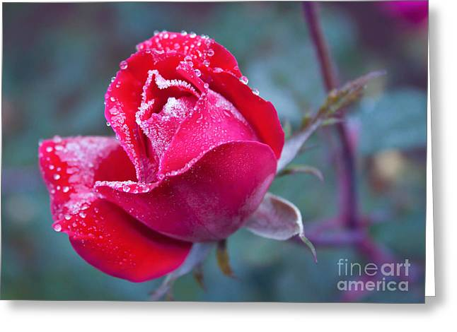Knock Out Greeting Cards - Frozen Rose Greeting Card by Lena Auxier