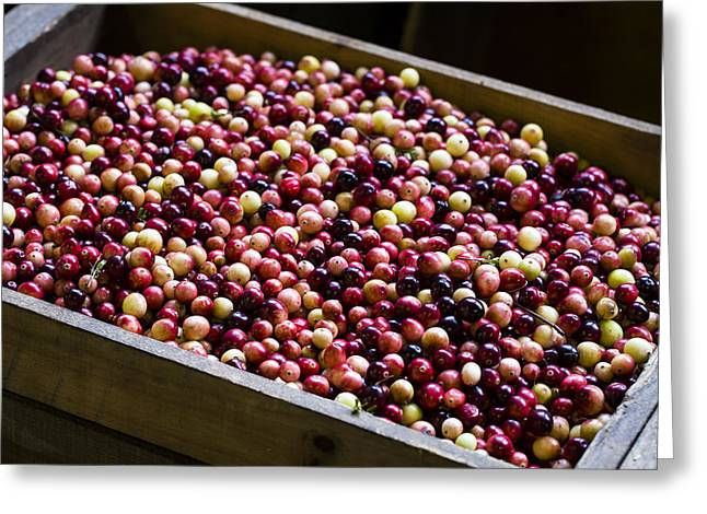 Harvest Time Greeting Cards - Fruit of the Bog Greeting Card by Andrew Pacheco