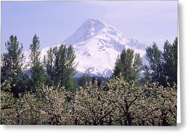 Hood River Oregon Greeting Cards - Fruit Trees In An Orchard Greeting Card by Panoramic Images