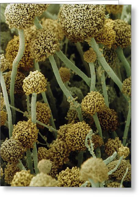 Fruiting Greeting Cards - Fruiting Bodies Of Rhizopus Oligosporus Greeting Card by Andrew Syred