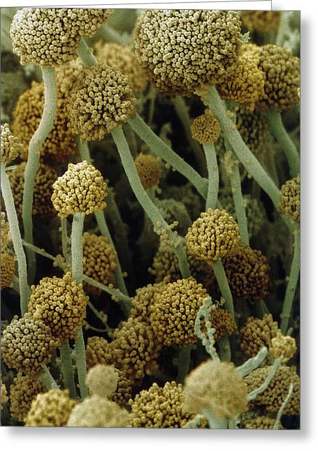 Fungal Greeting Cards - Fruiting Bodies Of Rhizopus Oligosporus Greeting Card by Power And Syred