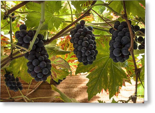 Vine Leaves Greeting Cards - Fruits of the vine  Greeting Card by Rob Hawkins
