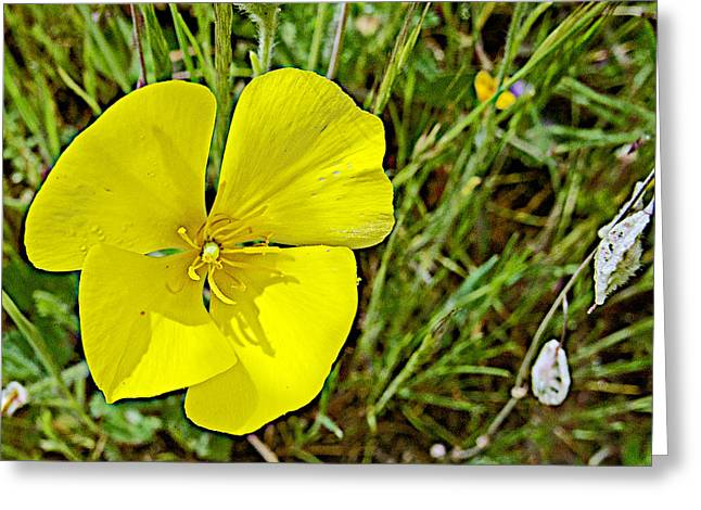 Fries Digital Greeting Cards - Frying Pan Poppy and Lacepods in Park Sierra near Coarsegold-California  Greeting Card by Ruth Hager