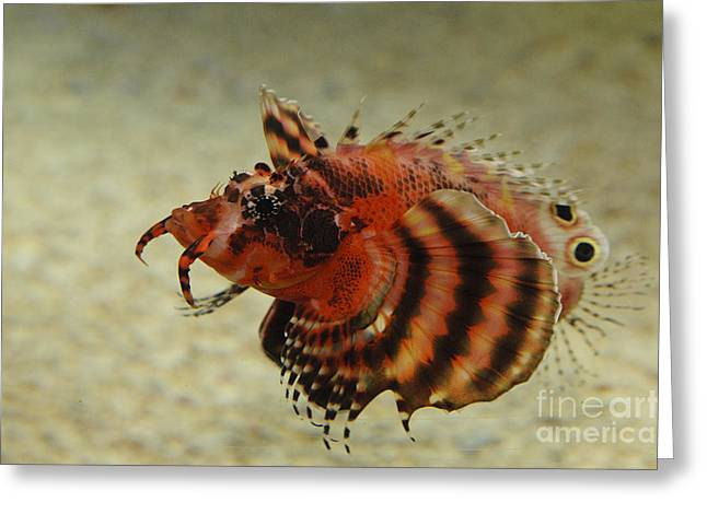 Underwater Photos Greeting Cards - Fu Manchu Lionfish Greeting Card by John Shaw