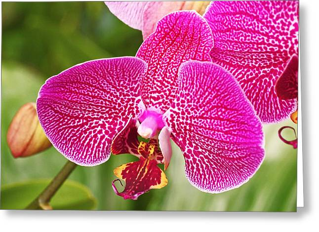 Fuchsia Moth Orchid Greeting Card by Rona Black