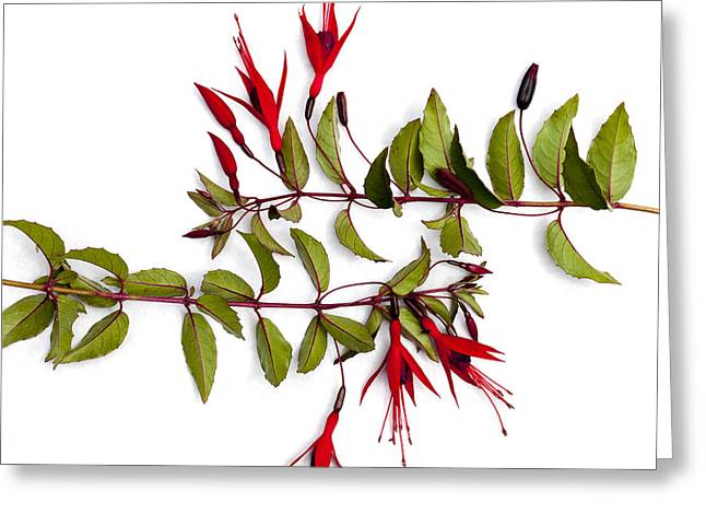 Fuschia Greeting Cards - Fuchsia Stems on White Greeting Card by Carol Leigh