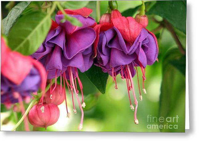 Chris Anderson Photography Greeting Cards - Fuchsias Greeting Card by Chris Anderson