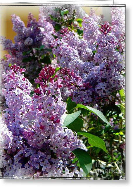 Frizzell Greeting Cards - Full bloom Lilacs Greeting Card by Michelle Frizzell-Thompson