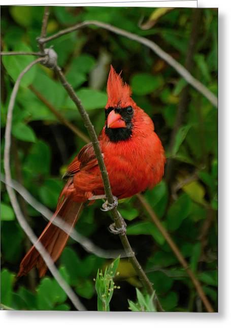 Paul Lyndon Phillips Greeting Cards - Full Glory Cardinal - 51006183f Greeting Card by Paul Lyndon Phillips