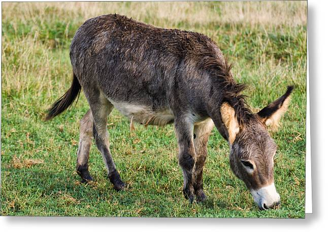 Donkey Digital Art Greeting Cards - Full grown donkey grazing Greeting Card by Chris Flees