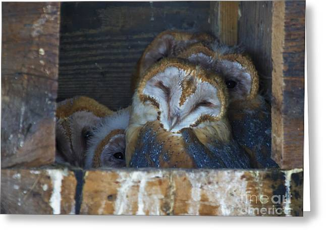 Barn Owls Greeting Cards - Full House Greeting Card by Mike  Dawson