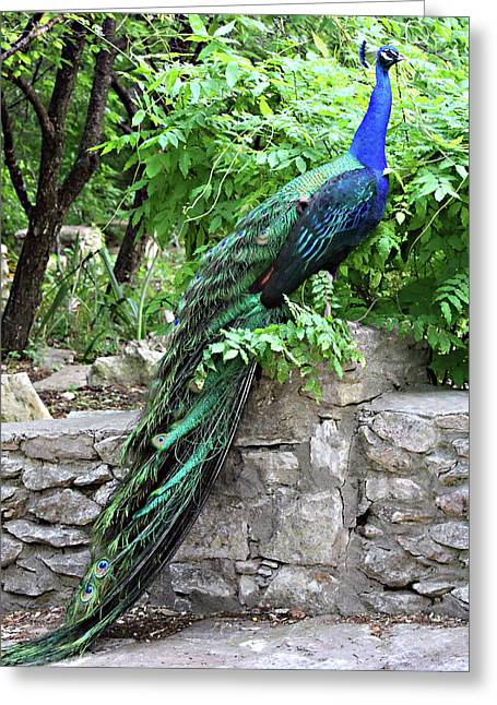 Mayfield Greeting Cards - Full Length Peacock Profile Greeting Card by Linda Phelps