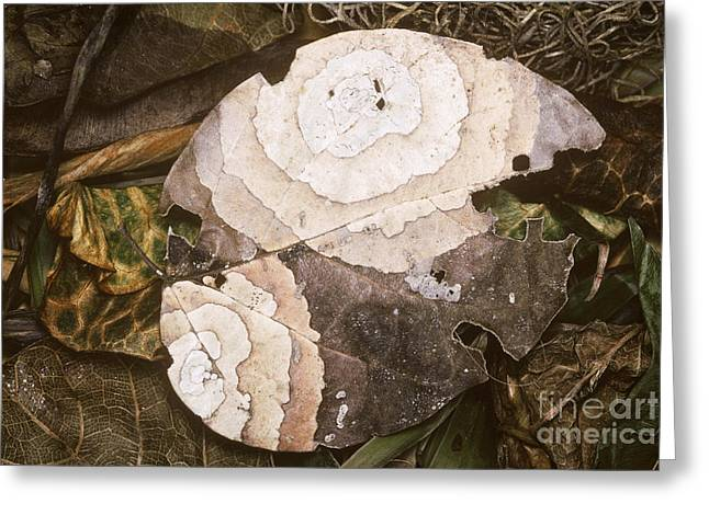 Forest Floor Greeting Cards - Fungal Decay Of Leaf On Rainforest Floor Greeting Card by Gregory G. Dimijian, M.D.